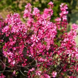 Рожевого дерева...