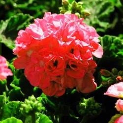 Герані рожевої ефірна олія