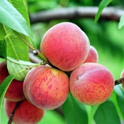 Персикових кісточок олія...