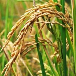 Рисовых отрубей масло раф....