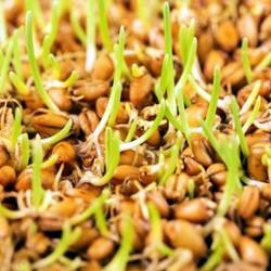 Пшеничных отрубей масло...