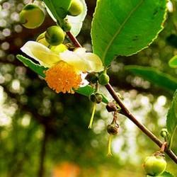 Камелії (сансакви) олія раф.