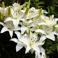 Лилии белой...
