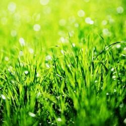 Трава с листьями мяты отдушка