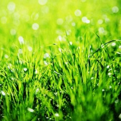 Трава з м'ятними листочками...
