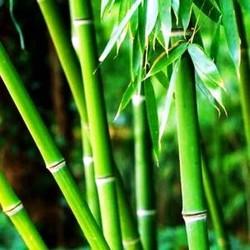 Бамбук запашка