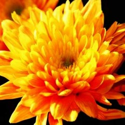 Хризантема запашка