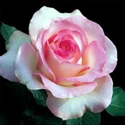 Чайна троянда запашка