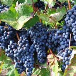 Виноградних кісточок олія...