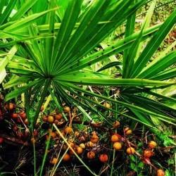 Пальмы Сабаля СО2 экстракт